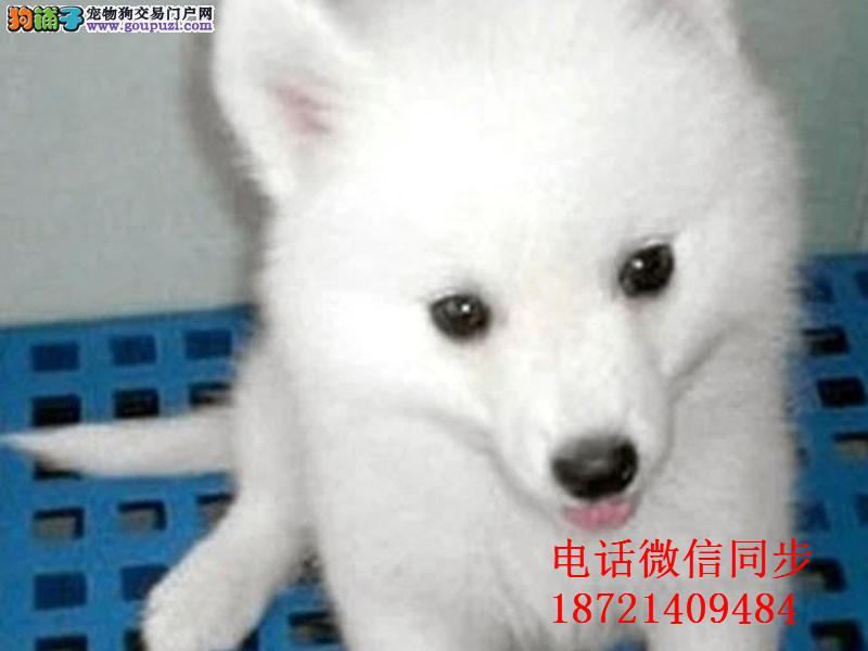 出售高品质银狐犬 签署质保协议亲选可上门挑选