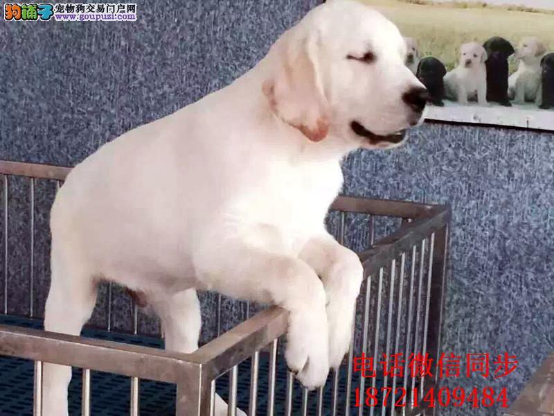 最佳伴侣犬拉布拉多、品质保证实物拍摄