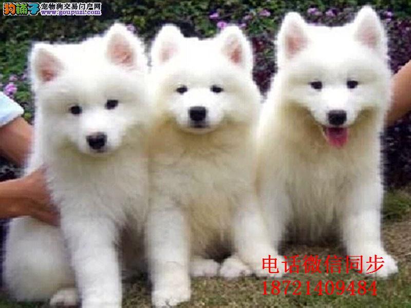、出售高品质银狐犬 签署质保协议亲选可上门挑选