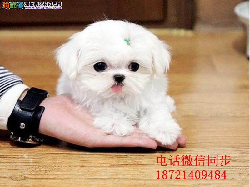 韩国引进种犬,绝对的高大尚,精品马尔济斯