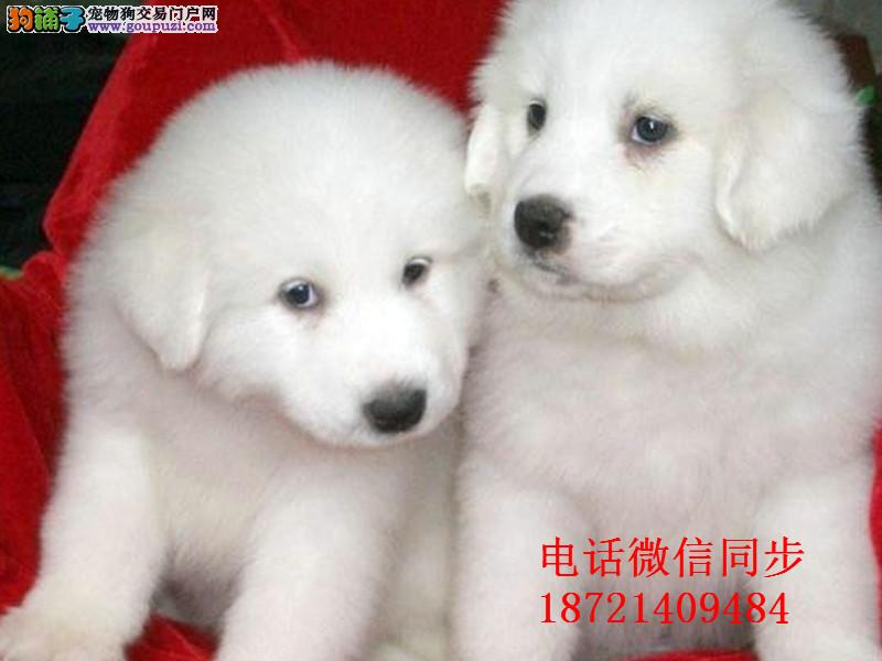 纯血统繁殖超大骨量赛级双冠大白熊幼犬健康签