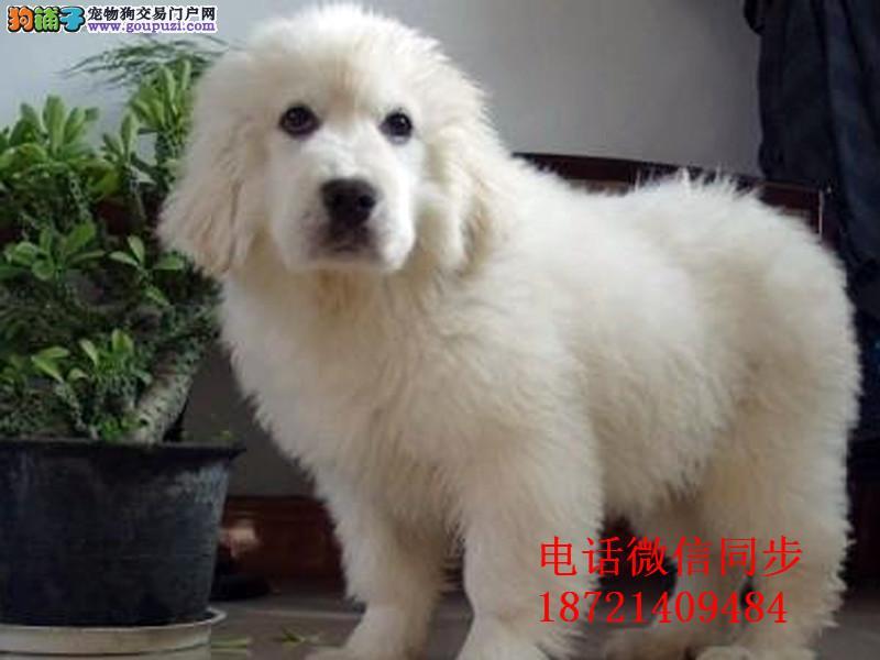 纯血统繁殖超大骨量赛级双冠大白熊幼犬健康签质