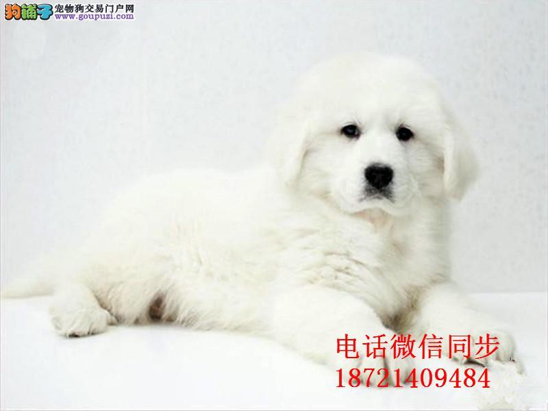 、纯血统繁殖超大骨量赛级双冠大白熊幼犬健康签质