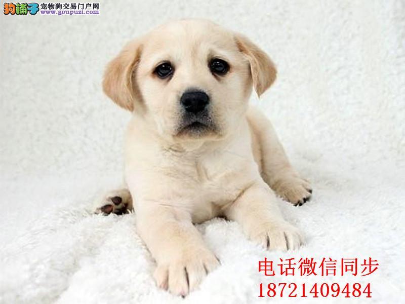 最佳伴侣犬拉布拉多、专业繁殖、品质保证