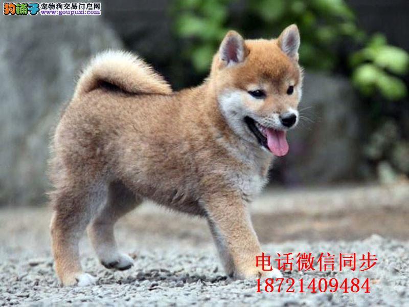 、日系秋田犬美系 带证书包三年 高端伴侣犬 护卫犬