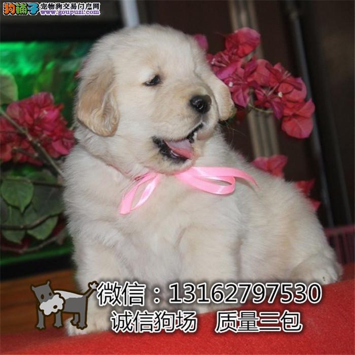 上海大骨量大毛量金毛犬品相好 健康无忧疫苗齐全