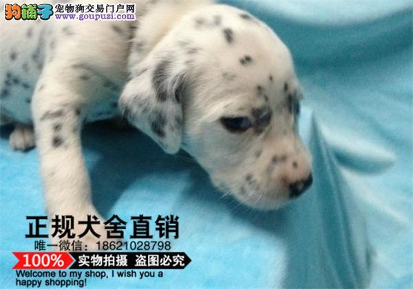 犬舍直销听话的斑点宝宝/CKU认证品质绝对保证保