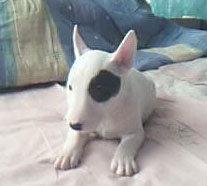 精品纯种海盗眼牛头梗犬幼犬出售宠物狗便宜卖可上门