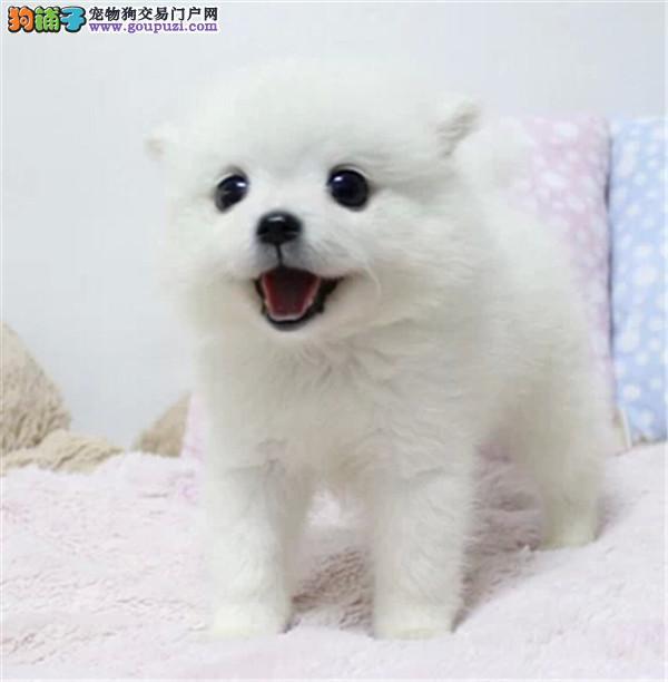 可爱的小银狐犬打好疫苗驱虫弄好的 雪白的小型犬