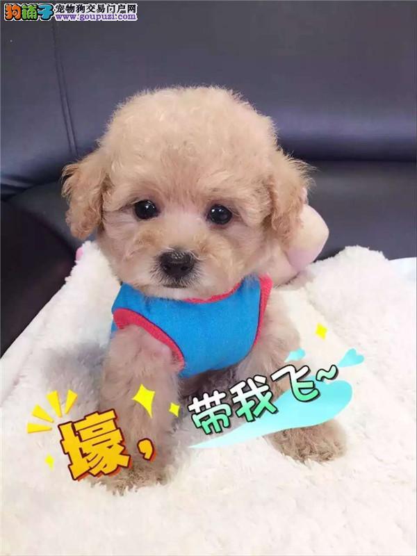 江苏泰迪幼犬玩具泰迪犬颜色齐全终身质保可看视频