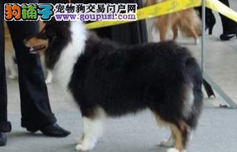 纯种苏格兰牧羊犬幼犬 毛色靓 体型佳 两色三色多只