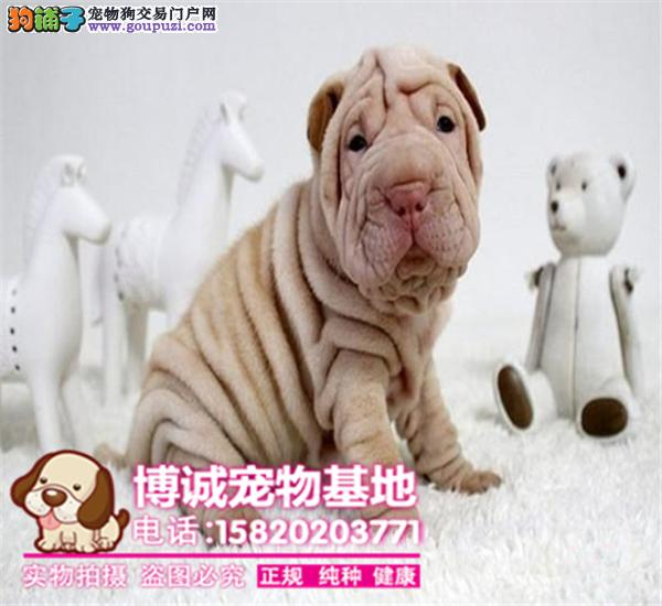 出售高品质沙皮狗幼犬、血统纯正、体型完美、健康纯种