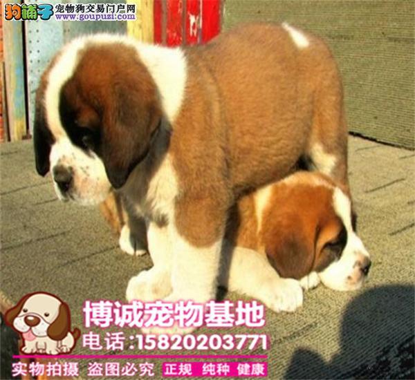 正规犬舍繁殖、诚信交易、纯种圣伯纳犬、可签协议