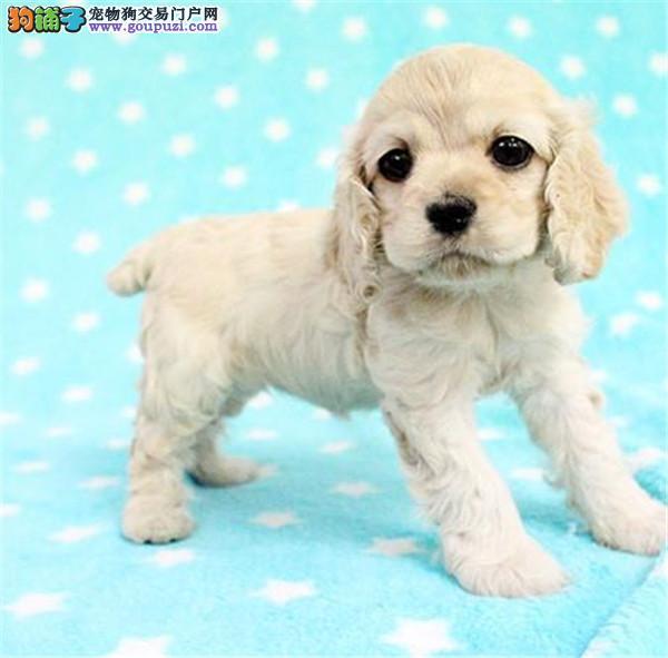 杭州可卡犬幼犬 英国可卡犬 美国可卡犬 价格上门可议