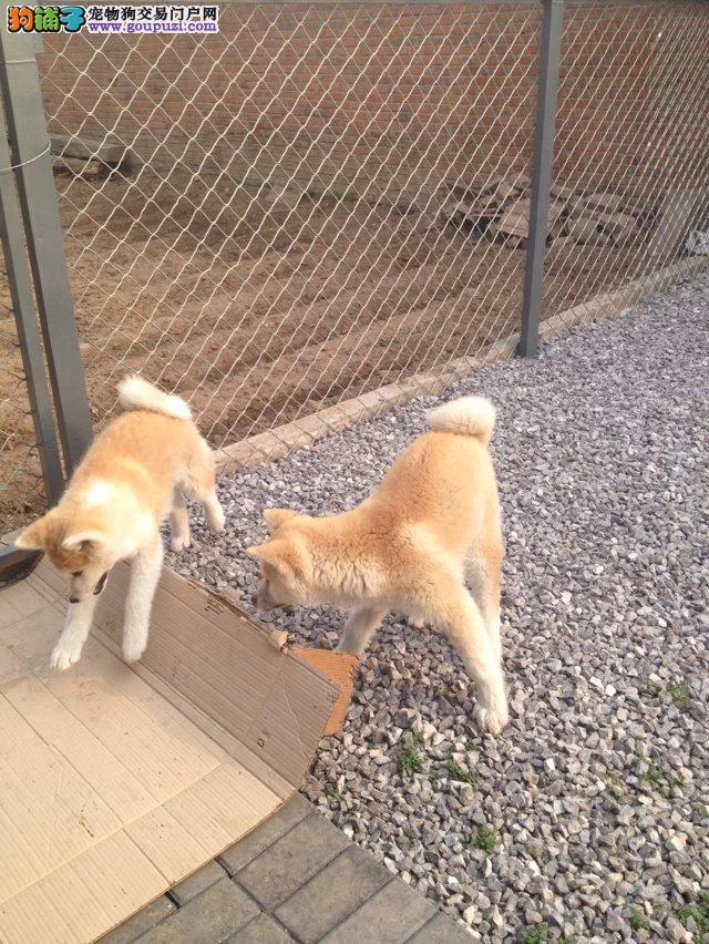 在长春什么地方能买到纯种秋田犬 价格便宜
