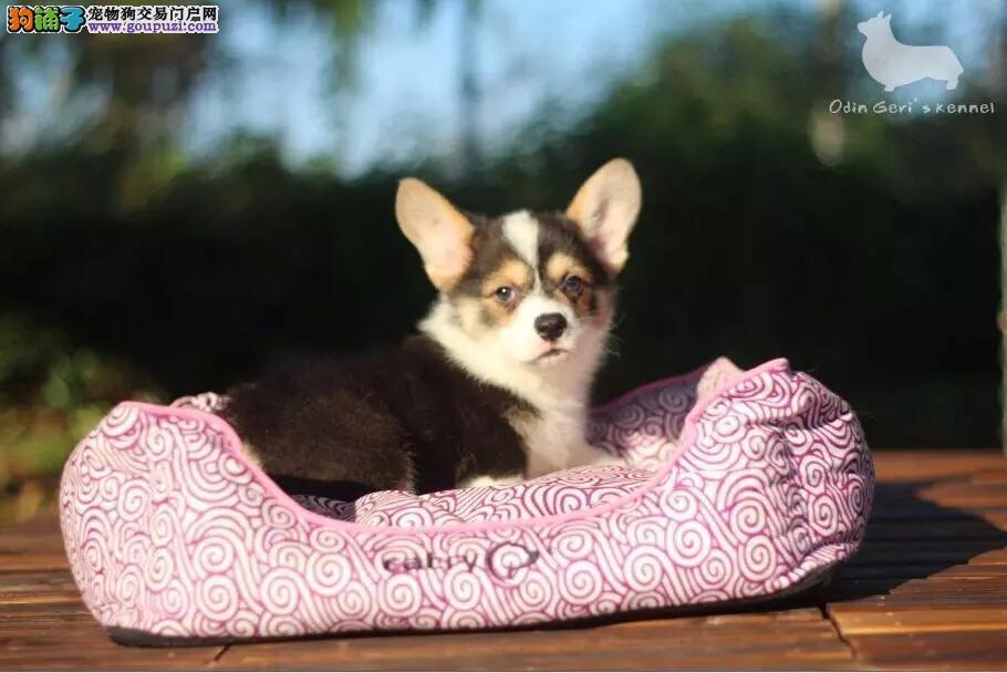 在长春什么地方能买到纯种柯基犬 价格便宜 血统优质