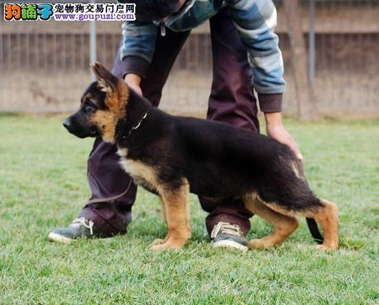 实体店低价促销赛级昆明犬幼犬请您放心选购