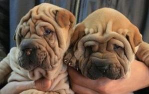 沙皮犬宝宝精品来袭,犬舍直销可上门选购可发货到家!