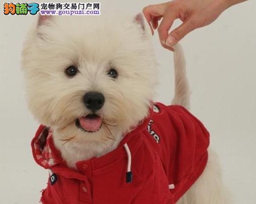 出售精品西高地、金牌店铺品质第一、提供养狗指导