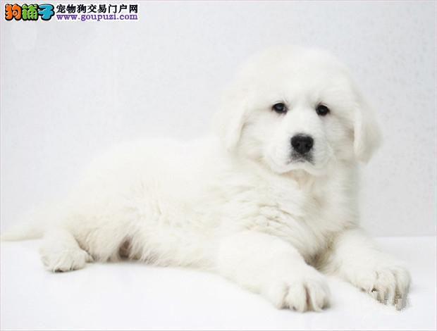 纯种骨架高大,大白熊宝宝,毛色漂亮活泼可爱包健康