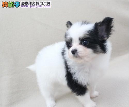 纯种的蝴蝶犬低价出售.有血统证书。包健康