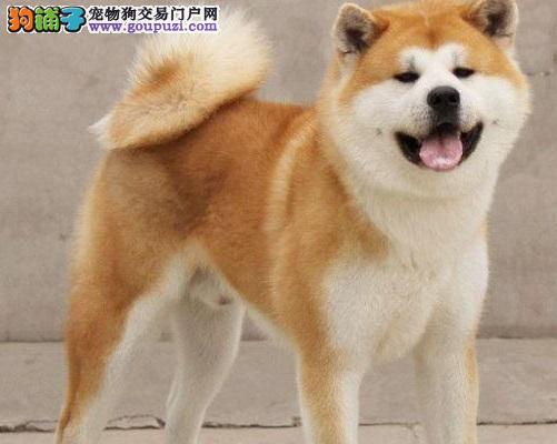 美系日系秋田犬,CKU认证,保纯度健康,保健康签署协议!