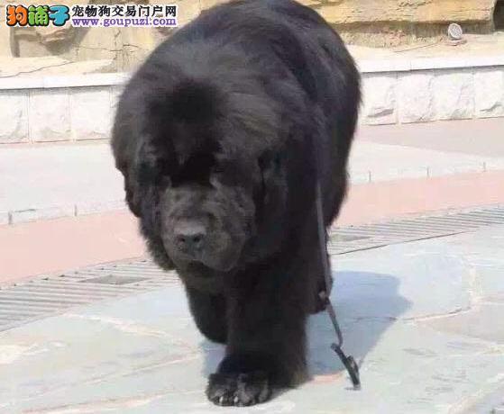 出售多种颜色纯种纽芬兰犬幼犬优质售后服务