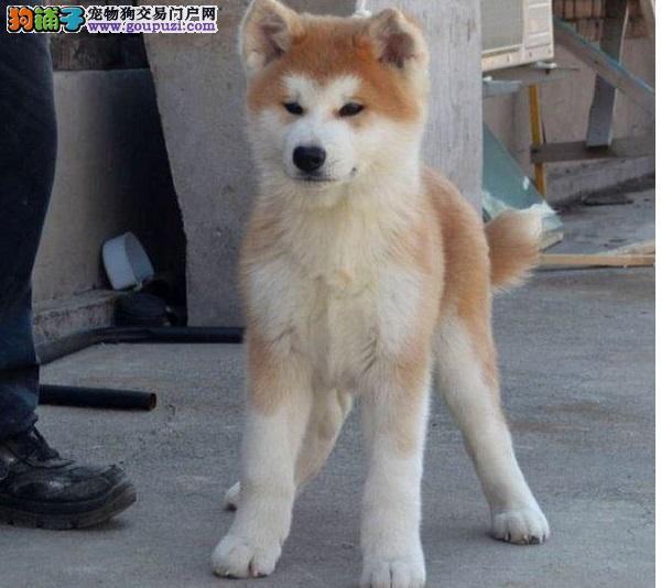 日本引进秋田犬,签合同保纯种健康,可送狗上门挑选!