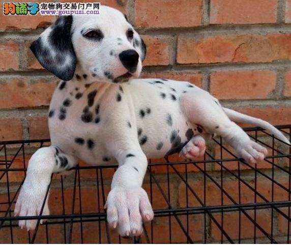 大麦町犬,斑点狗出售,纯种大麦町犬斑点狗,犬舍直销