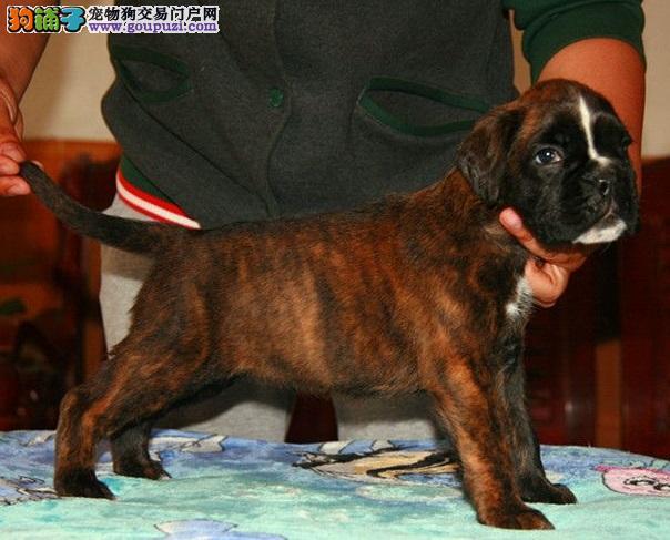 包纯种健康,稀有品种拳师幼犬,耳朵已剪,CKU认证!