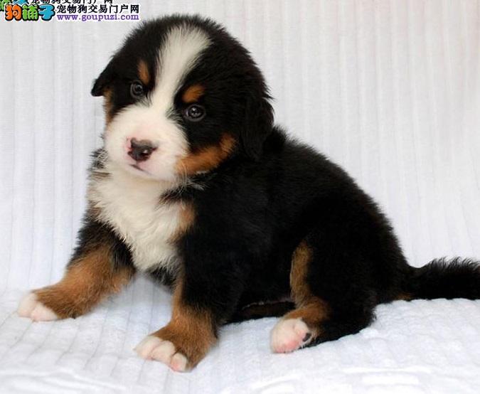 伯恩山聪明耐力好,不好斗忠实易驯也是优良的家庭犬!