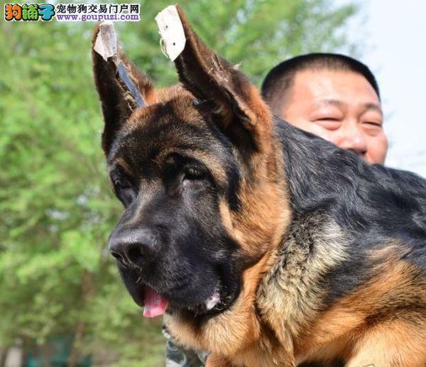 赛级锤系狼狗、专业繁殖签协议、包邮送用品,保健康!