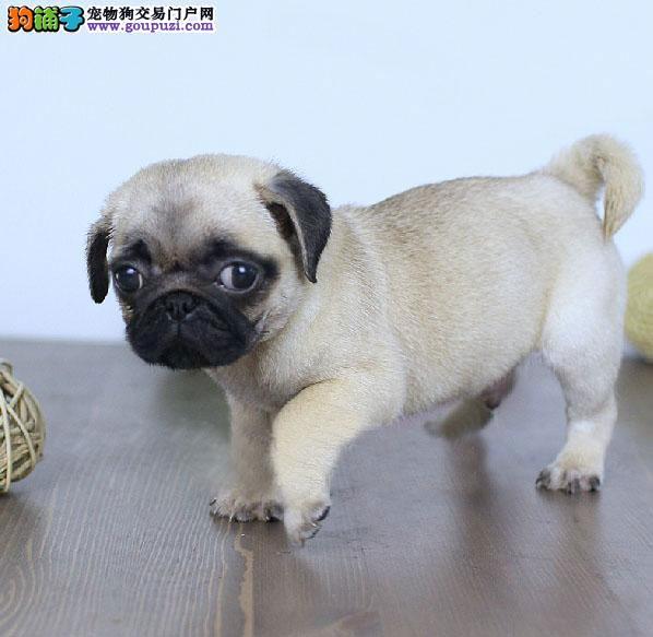 颜色全品相佳的巴哥犬纯种宝宝热卖中签署各项质保合同