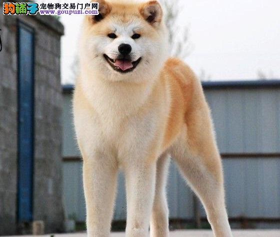 纯种日系秋田犬,忠诚是我本性,专业繁殖纯种秋田犬!