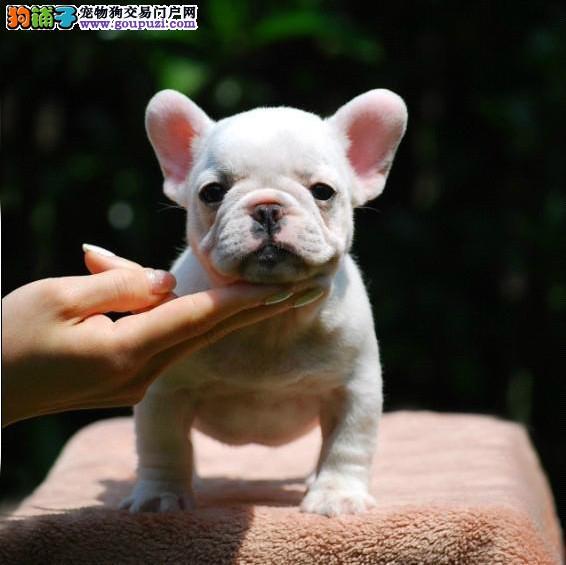 颜色全品相佳的法国斗牛犬纯种宝宝热卖中专业品质一流