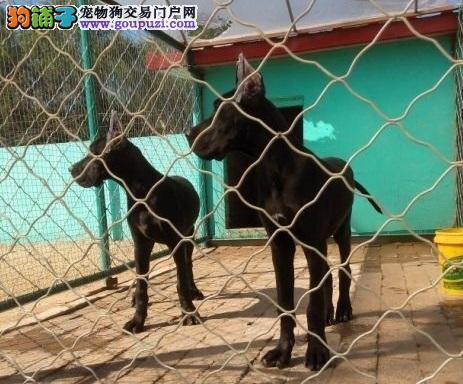 出售多种颜色上海纯种大丹犬幼犬市内免费送货