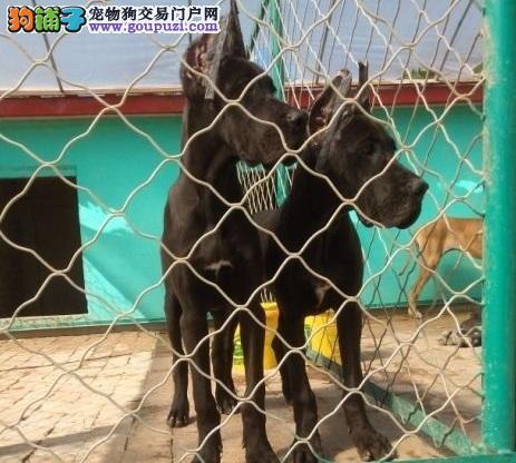泉州自家繁殖大丹犬出售公母都有品质血统售后均有保障