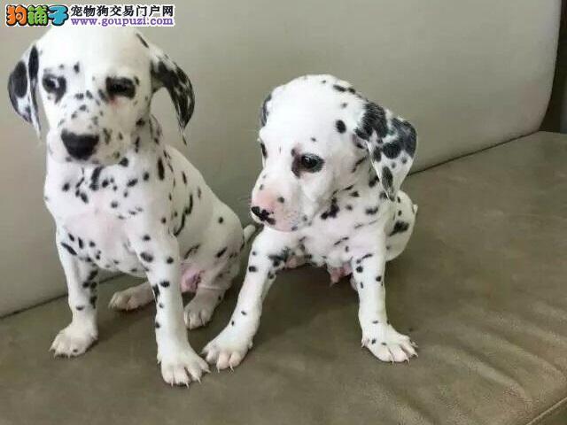 斑点狗宝宝精品来袭,犬舍直销可上门选购可发货到家!