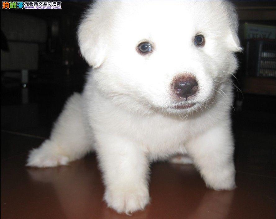 纯种大白熊幼犬,大骨架,终身品质,品相极佳确保健康