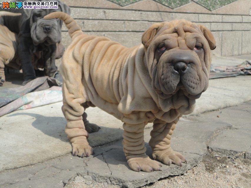 犬舍直销高品质沙皮狗幼犬血统纯正 体型完美 健康纯种