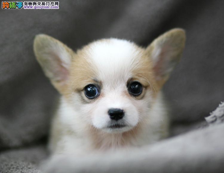 犬舍直销精品威尔士柯基犬、 疫苗做齐多只可选保健康