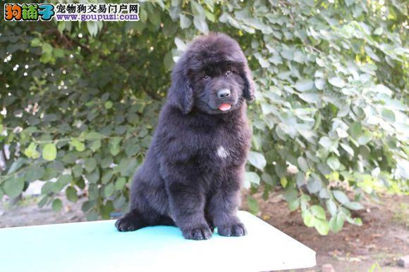 高端纽芬兰犬幼犬 专业繁殖血统纯正 签署合同质保