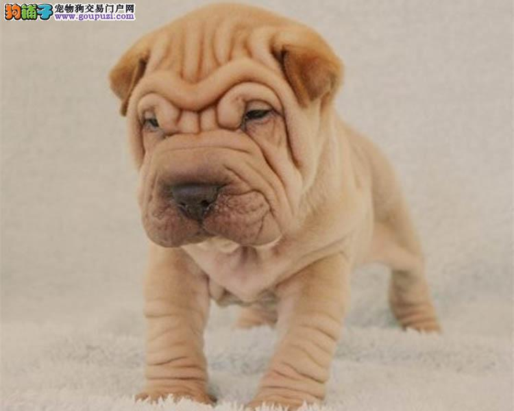 犬舍直销纯种高品质沙皮犬,疫苗驱虫完备,诚信经营!
