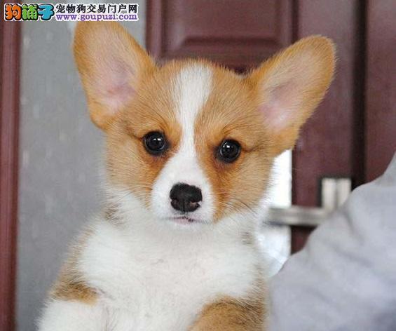 专业销售纯种柯基幼犬,血统优良、CKU认证,疫苗完备