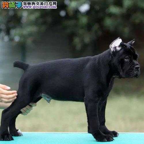 冠军级后代卡斯罗犬 保证血统纯度 提供养狗指导