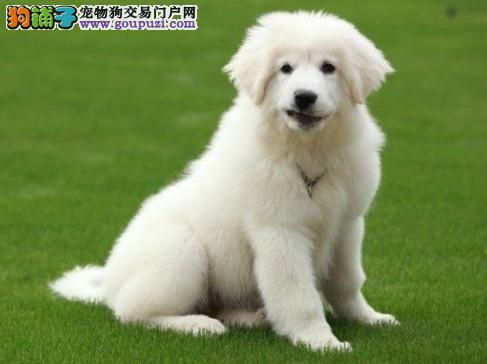 大型狗场直销纯种大白熊幼犬,疫苗驱虫完备,可签质保