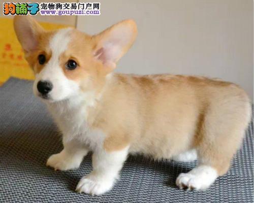 纯种威尔士柯基幼犬,包售后,保纯种,上门可签订协议