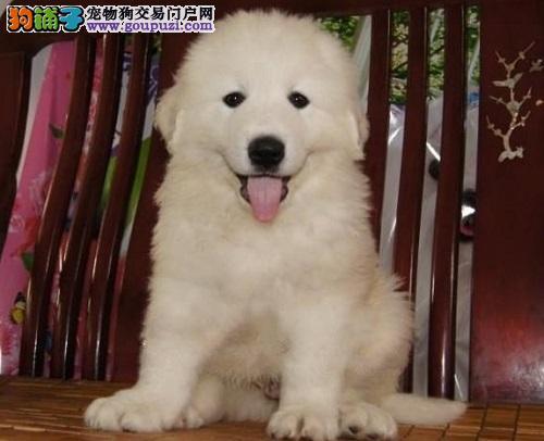 冠军血系大白熊幼犬,正规签协议,健康纯种血统高贵质