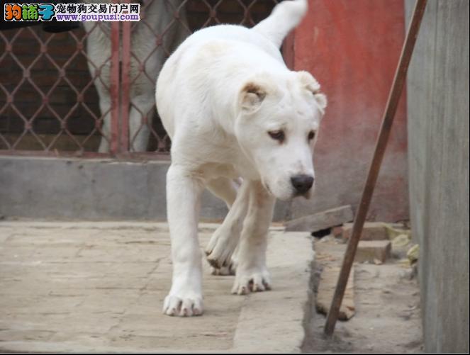 中亚牧羊犬幼犬出售中,国际血统品质保障,讲诚信信誉好