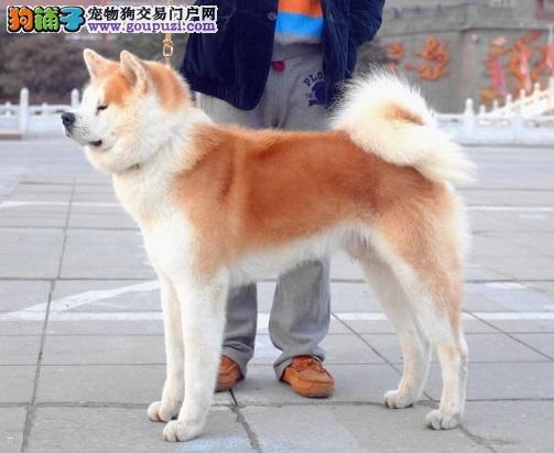 美系日系秋田犬,CKU认证,保纯度,可上门选购可发货到家